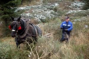 Im Rahmen des LIFE+ Projektes im Nationalpark Eifel ist auch der Einsatz von Rückepferden gefragt. Bild: Nationalparkverwaltung Eifel