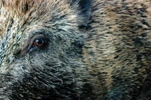 Ein Wildschwein sorgte in einem Wohngebiet in Kall für Aufregung. Symbolbild: Michael Thalken/Eifeler Presse Agentur/epa