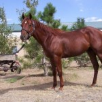 chief-quarter-horse-sorrel-gelding