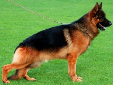 Qento Vom Thalberger Land (SchH3/Kkl1/A1/A1) - Previous Litter Sire - Qento Vom Thalberger Land / Line Bred, VA1 URSUS Von Batu, and a VA1World Champion Zamp grandson