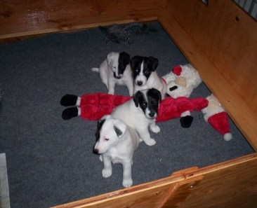Smooth Fox Terrier Puppies