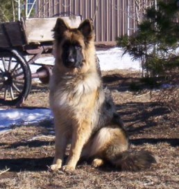 Barrett: German Shepherd Male Beautiful, Rare, Plush Coated Shepherd