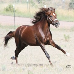 pvr_colorado_peruvian_paso_stallion-6