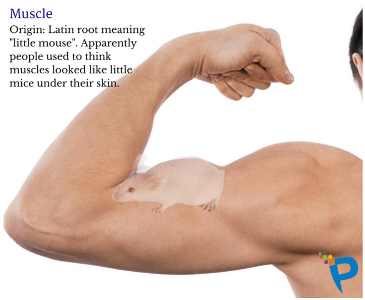 『筋肉』英語はなんですか?由来は? - 男性が二等筋に力を入れている。形が『小さなネズミ』に似ているため、英語のmuscleの由来はラテン語の『小さなネズミ』となっている