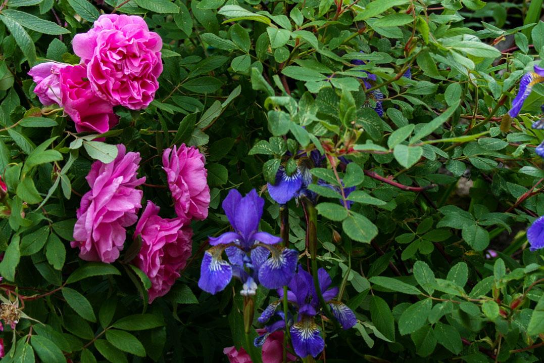 Teresanruusu – Rosa 'Therese Bugnet' ja siperiankurjenmiekka – Iris sibirica