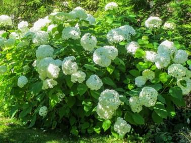 "Pallohortensia – Hydrangea arborescens ""Annabelle"""