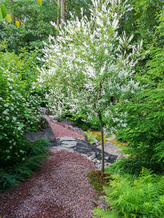 Hakuropaju rungolla -Salix integra 'Hakuro Nishiki'