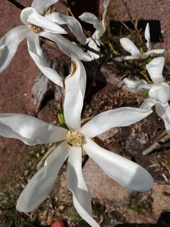 Magnolia 'Vanha Rouva'