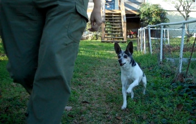 A small dog, a black and white rat terrier with very large ears that stand up, is running towards the side of a human (you can see only the human's pant leg. The dog's mouth is open, her foot is raised in mid stride, and she looks excited and happy.