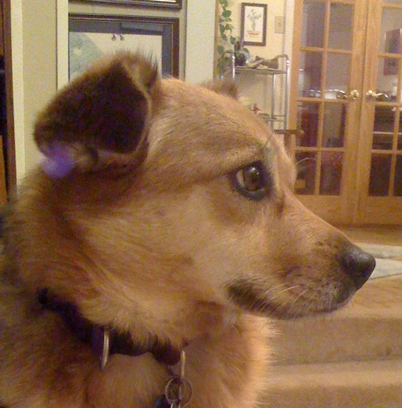Summer, a sable colored dog, is photographed in profile looking scared and worried