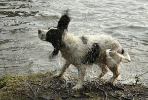 A springer spaniel, standing next to a body of water, is photographed while shaking water off