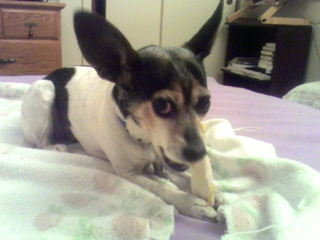 A black, white, and tan rat terrier with big ears is hold a rawhide and looking up at the person holding the camera. Resource guarding.