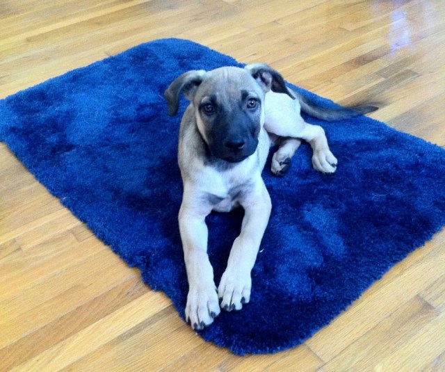 Tan puppy with black muzzle is lying on a navy blue bath mat and looks serious
