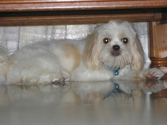 Frightened White And Cream Colored Dog Under Table