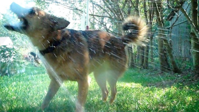 """""""The Dog Decides."""" Photo shows a brown dog being sprayed with water from a garden hose. Her mouth is open, tail is up, and she is very happy."""
