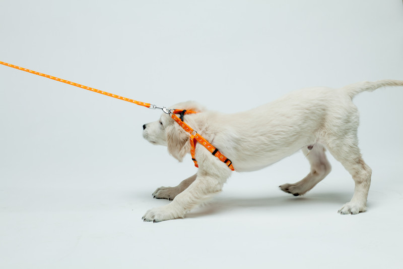 A white dog is wearing an orange harness with a leash attached. The leash is taut, and being pulled ahead. The dog is braced and throwing his weight backwards. Many would call this an example of the opposition reflex