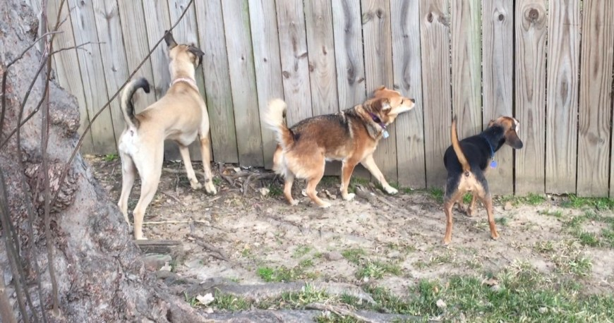 Three dogs looking through a fence. Continuously reinforcement. A recall trained via variable reinforcement probably won't get their attention.