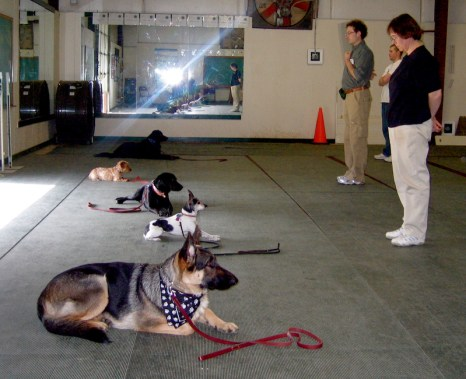 dogs in an obedience club lying down, except for a small terrier who isn't lying all the way down