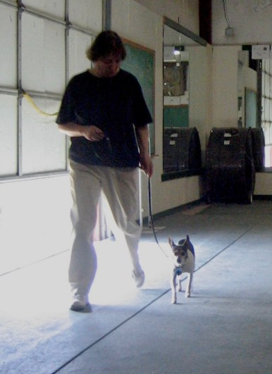 rat terrier at a dog obedience club heeling on leash