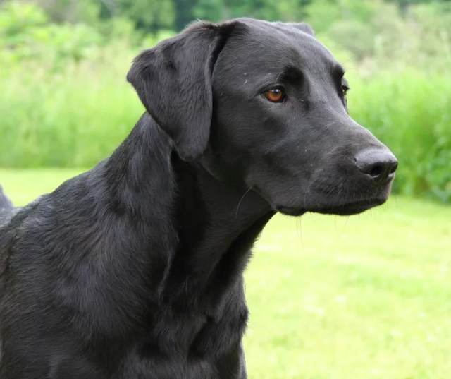head shot of a black lab who is looking at something
