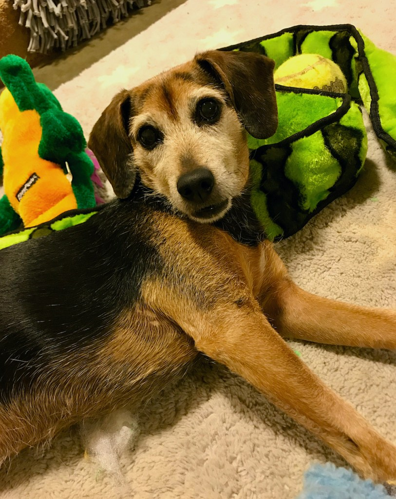 Black and rust hound type dog leaning on a green and black squeaky snake toy. This toy was part of our low pressure play