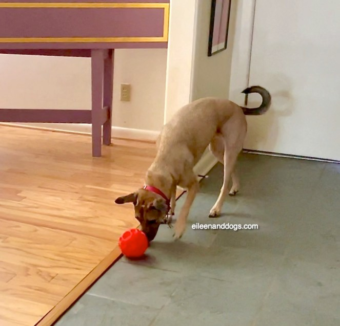 A tan dog with a black face and tail pushes an orange ball filled with food with her nose