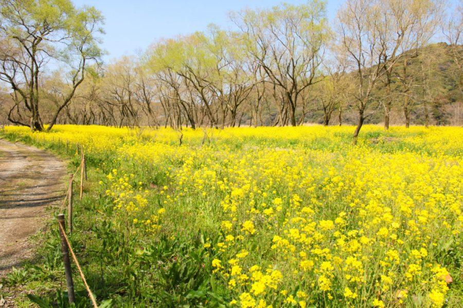 四万十市 菜の花まつり