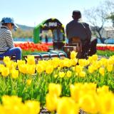 高知最大級のチューリップ祭り|かがみ花フェスタ