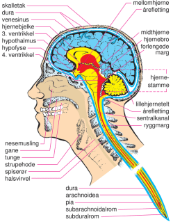 hjerne-utsnitt-StoreNorske