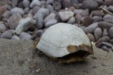 Verlassener Schildkrötenpanzer
