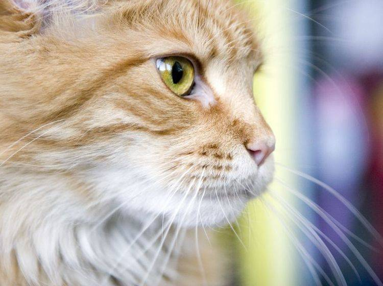 Maine Coon Katze Wie Ist Ihr Charakter
