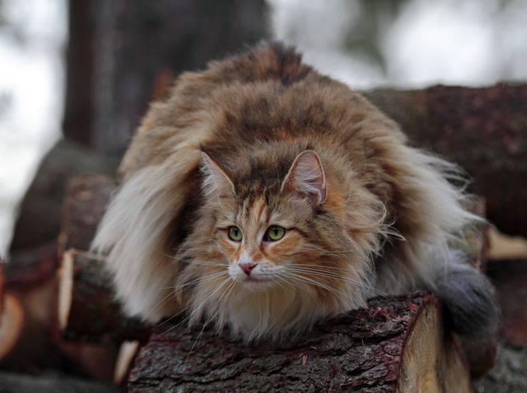 Waldkatzenrassen Maine Coon Norwegische Waldkatze