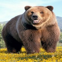 Bear - Oso