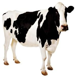 Cow - Vaca