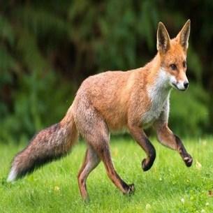 Fox - Zorro