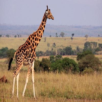 Giraffe - Jirafa