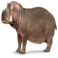 Hippopotamus - Hipopótamo