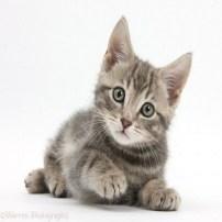 Kitten - Gatito