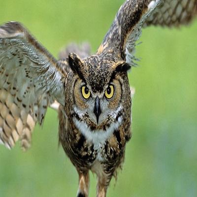 Owl - Búho