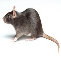 Rat - Rata
