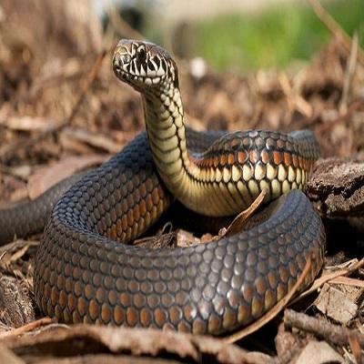 Snake - Serpiente