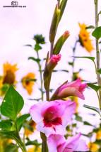 Gladiole unter Sonnenblumen