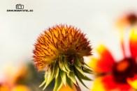 Gaillardia-Papageienblume