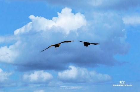 Adler und Kolkrabe