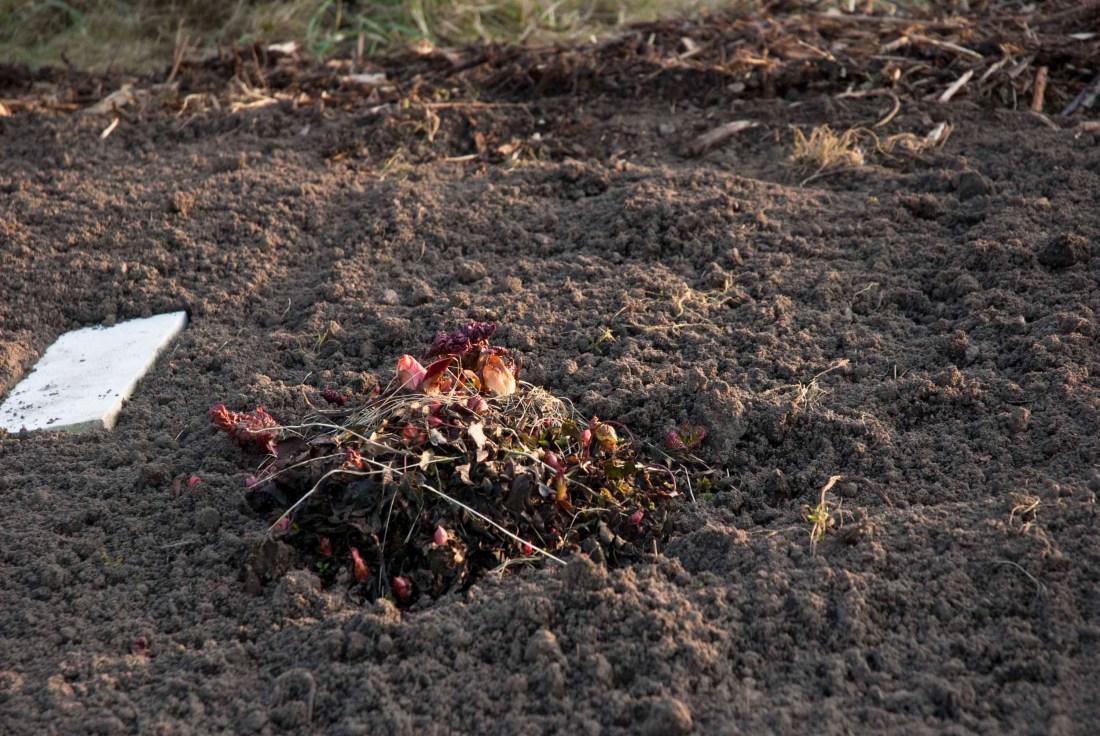 Rhabarber-Knospen in einem Beet mit dunkler Erde.