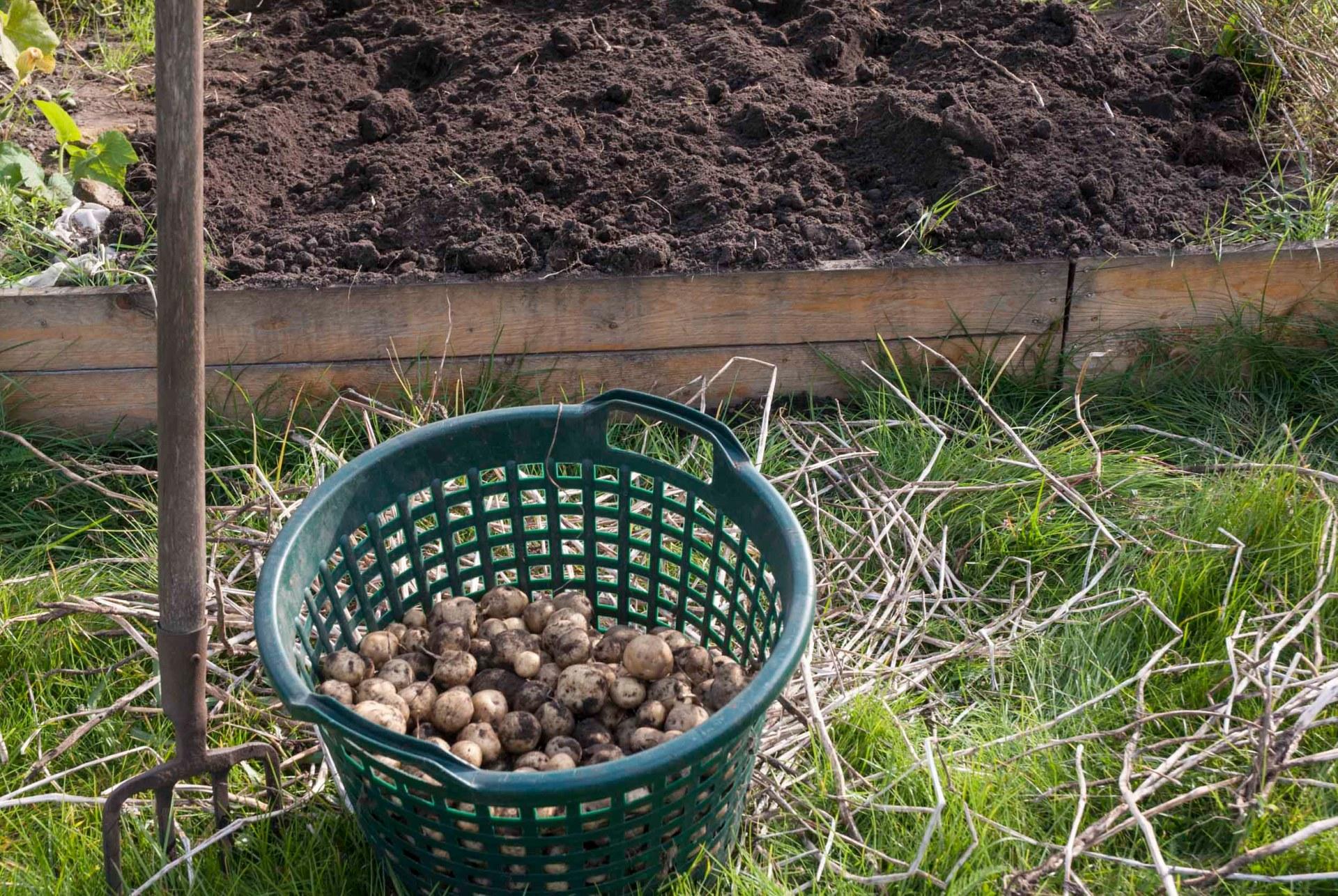 Bild von der Kartoffelernte: Eine Grabegabel steckt neben einerm Korb voller frisch geernteter Kartoffeln im Boden.