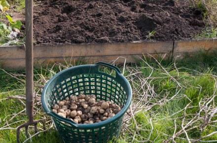 Bild von der Kartoffelernte: Eine Grabegabel steckt neben einerm Korb voller frisch geernteter Kartoffeln im Boden