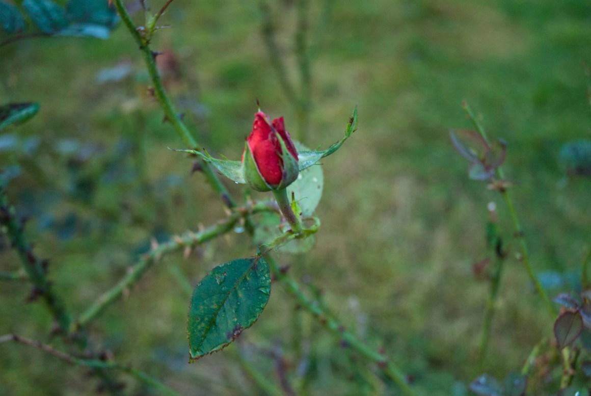 Rosenblüte im Garten im Oktober.