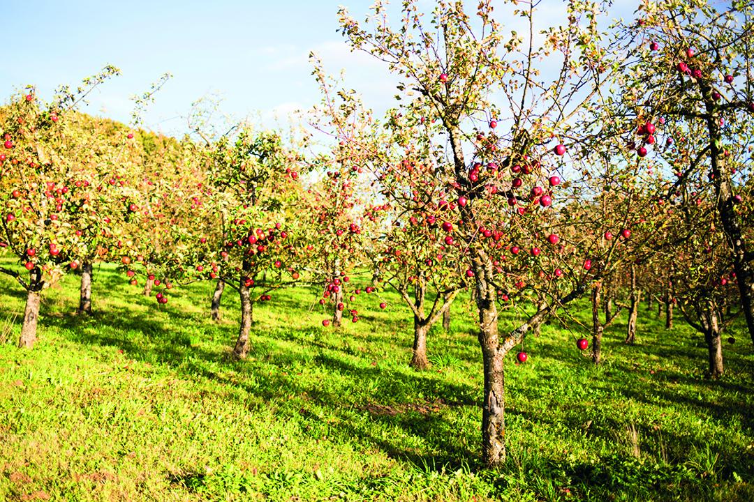 Unterm Apfelbaum -  Äpfel ernten am Ammersee