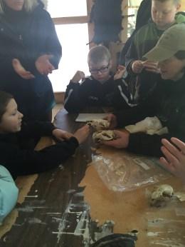 Examining beaver skulls